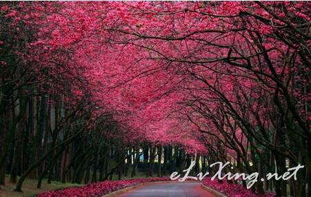 樱花季3250元游日本 E旅行网图片
